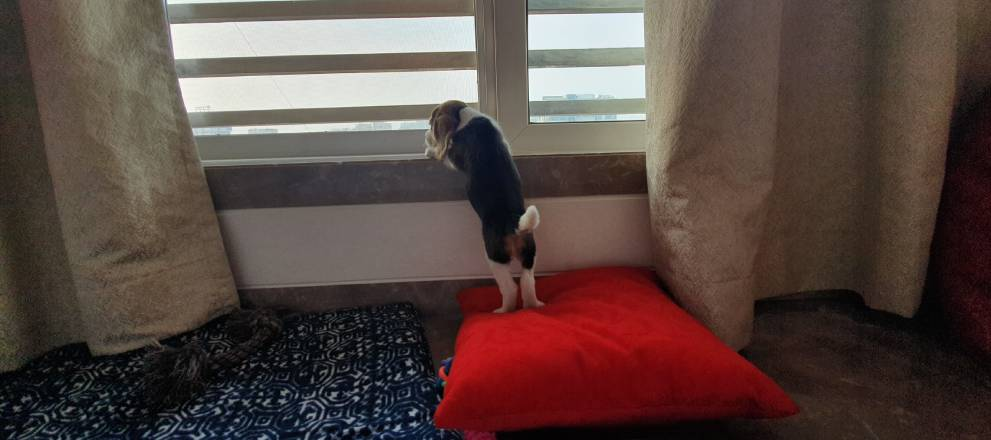 Lonely Beagle, Separation anxiety
