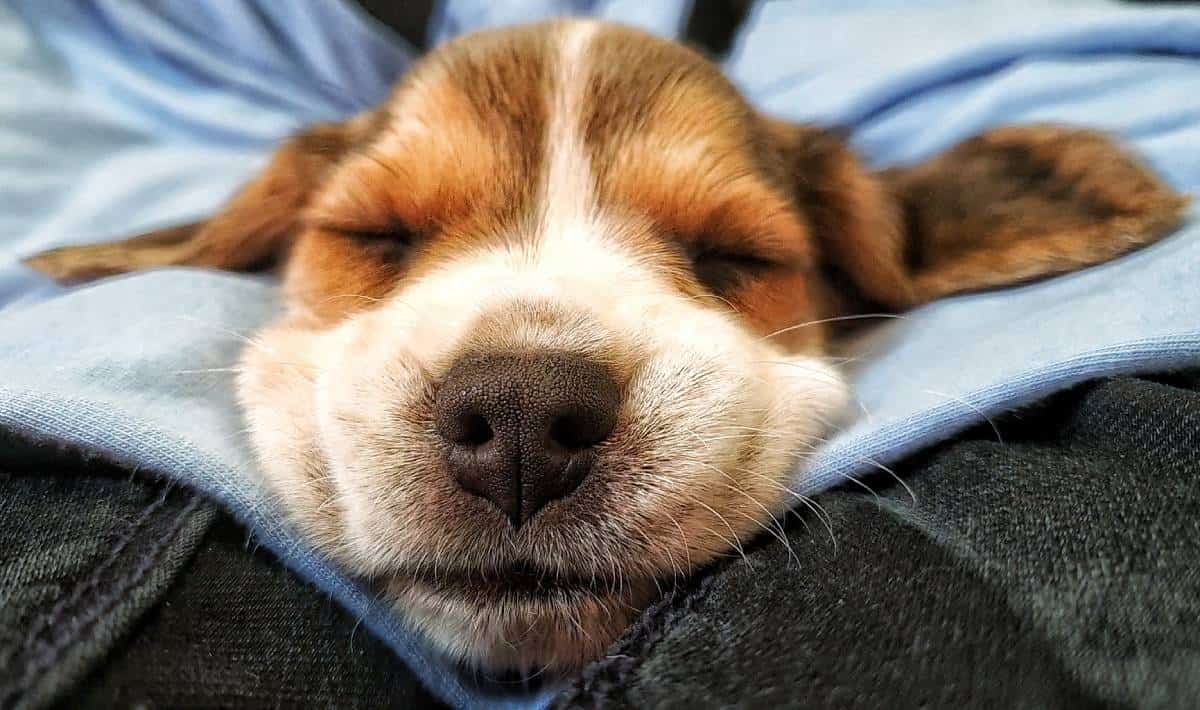How To Get Your Beagle Puppy To Sleep Through The Night Beagle Care