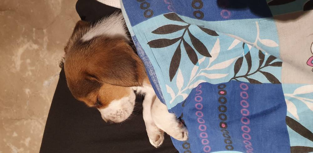 Beagle sleeping under cover
