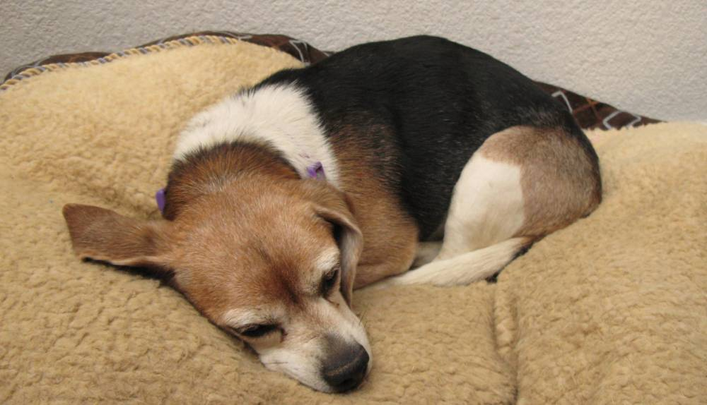 Beagle sleeping on dog bed