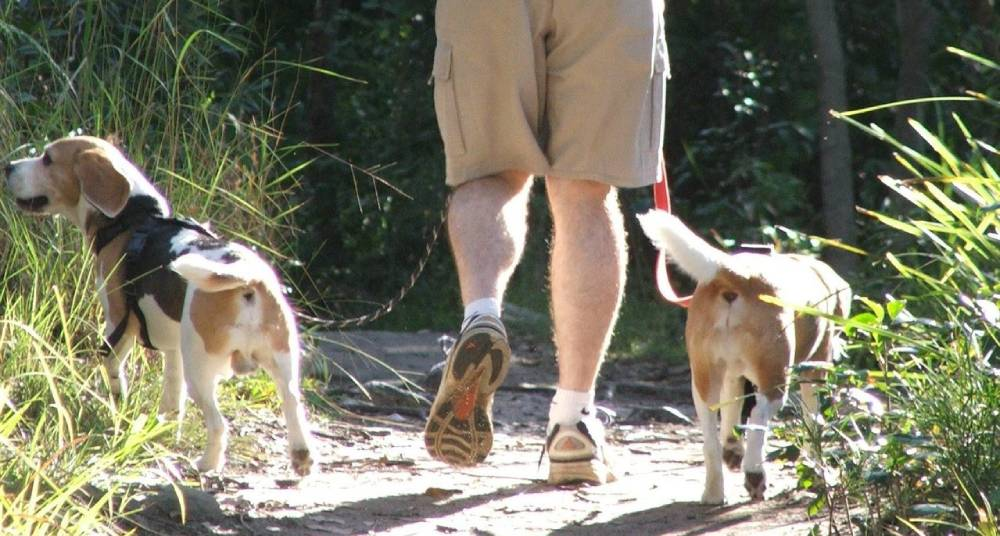 Hiking with Beagles