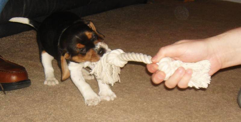 Beagle puppy playing tug of war