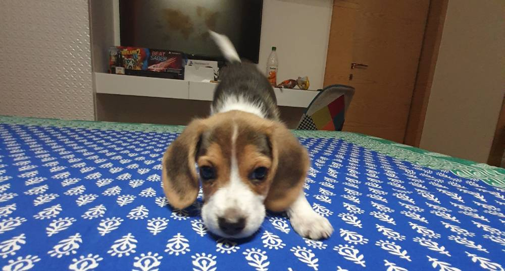 Beagle with strong nose