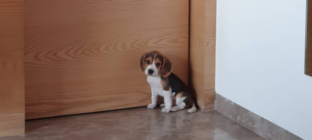 Beagle sitting innocently