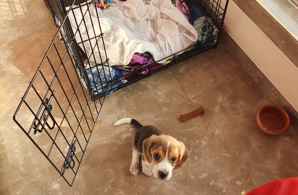 Beagle standing in front of his crate