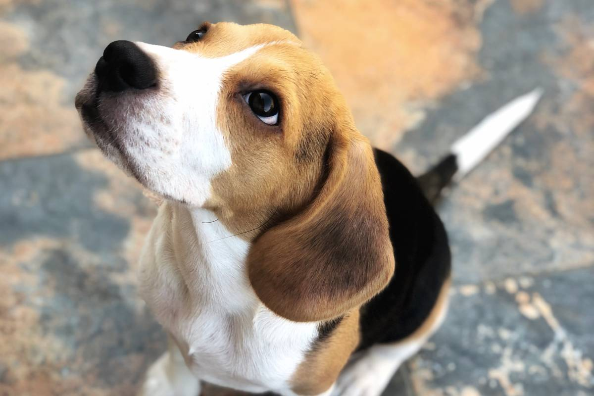 Beagle Intelligence test