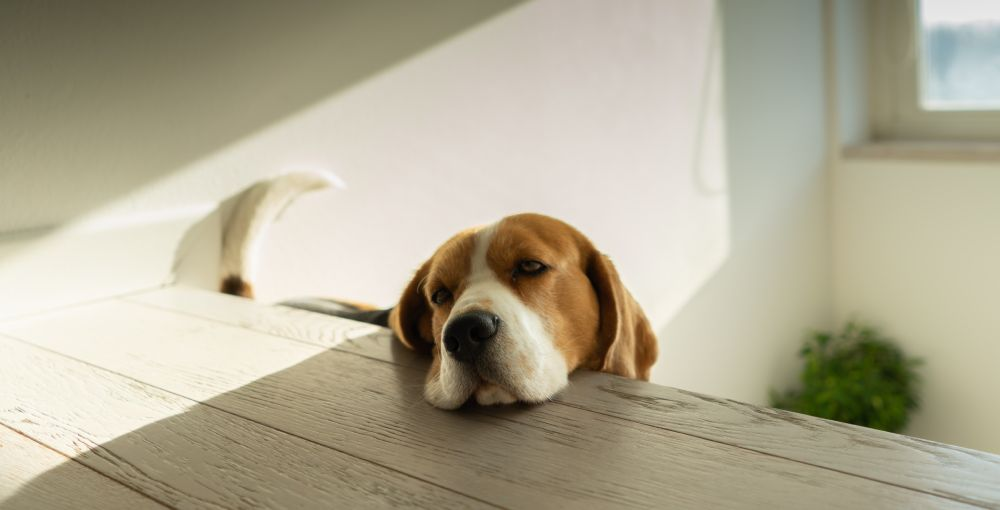 common beagle health problems