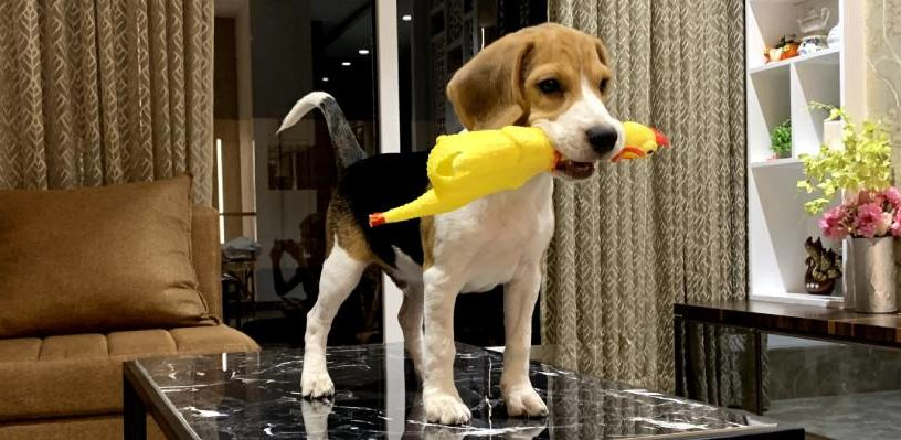 beagle holding a toy