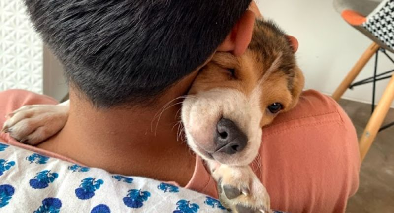beagle friendliness