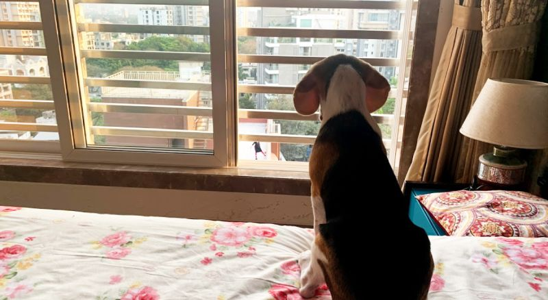 beagle in an apartment