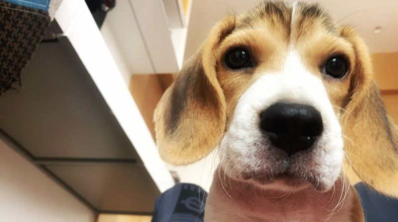 owning a beagle