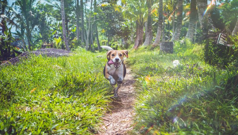 Training a beagle to hunt