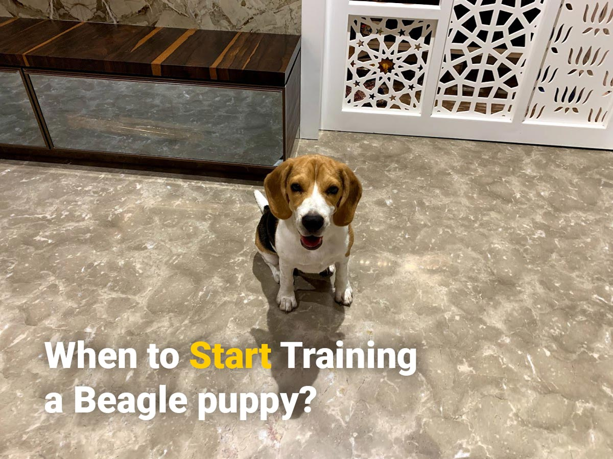 A well trained beagle puppy sitting