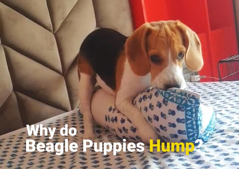 Why do beagle puppies Hump?