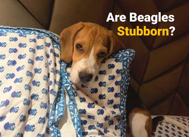are beagles stubborn