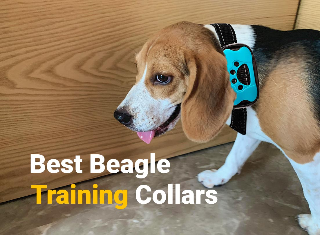 Beagle wearing a Training collar