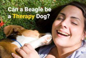 Can a beagle be a Therapy Dog