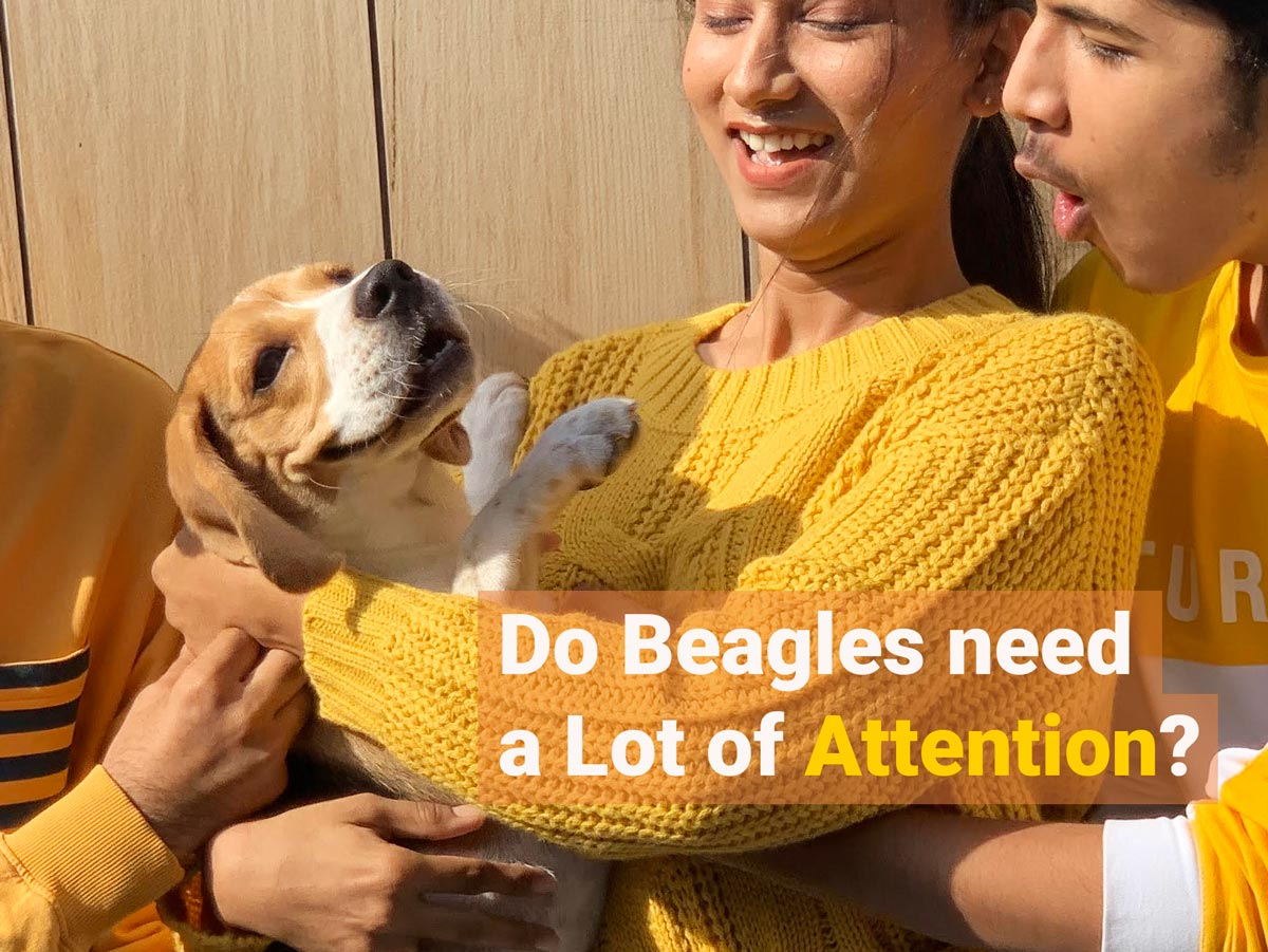 Beagle getting lot of attention from two people