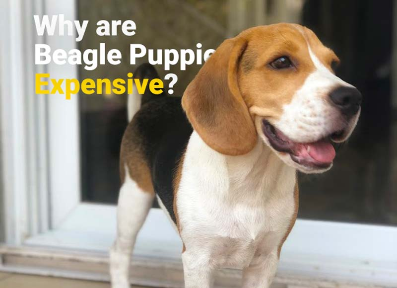 Why are beagle puppies expensive