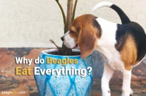 Why do beagles eat everything