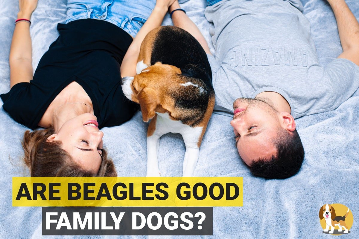 Beagles sitting with a family