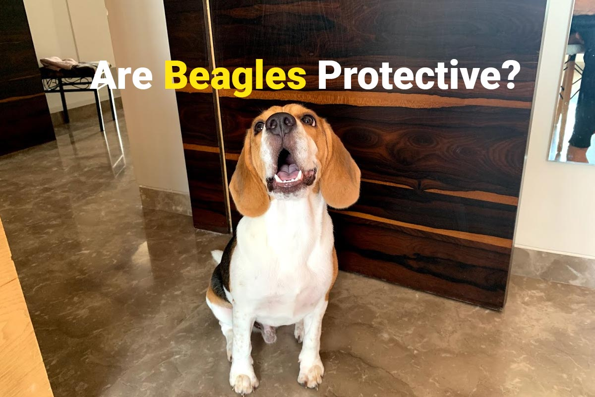 Beagle being Protective