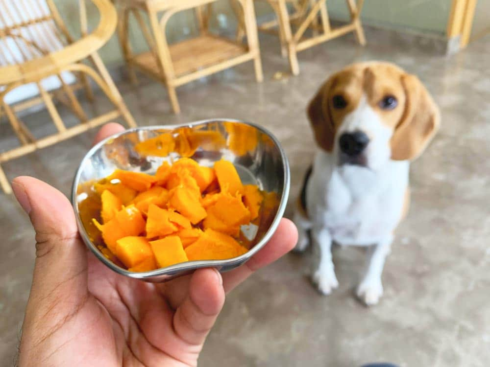 a beagle dog waiting to eat his mango