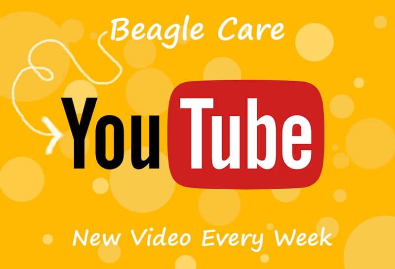 Beagle Care Youtube