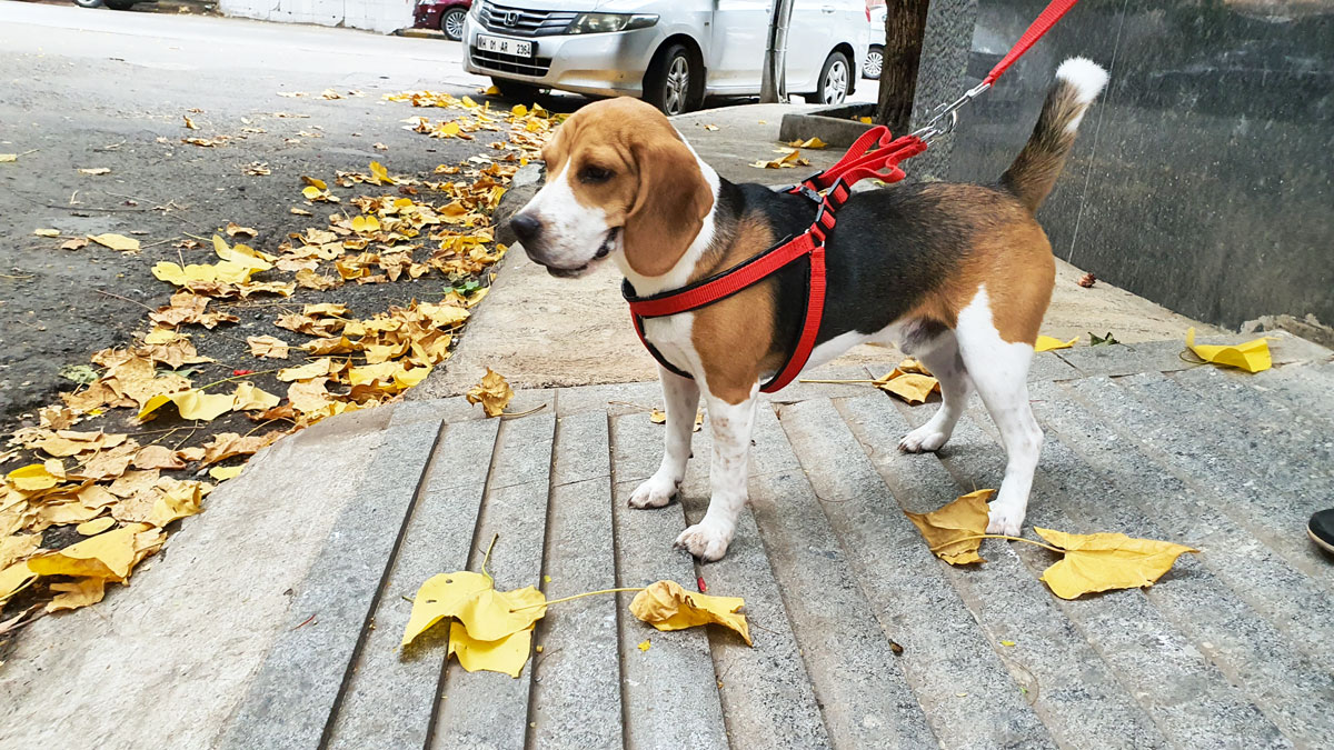 Beagle on a leash, ready for walk