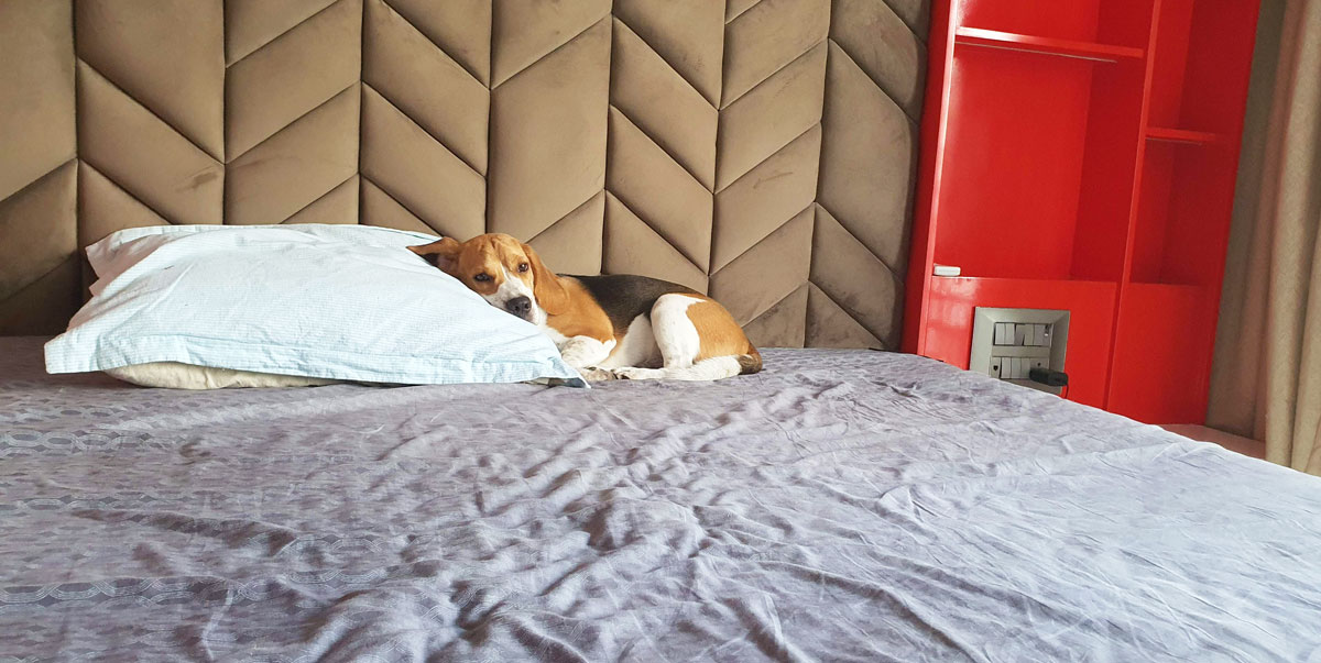 a beagle sleeping on a bed