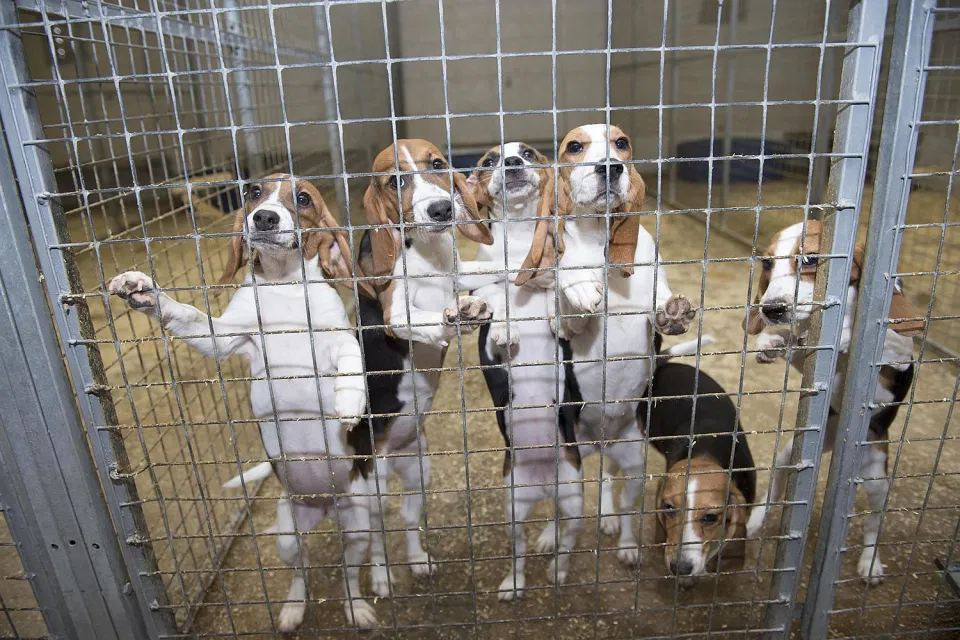 Beagles kept in a cage for lab experiments