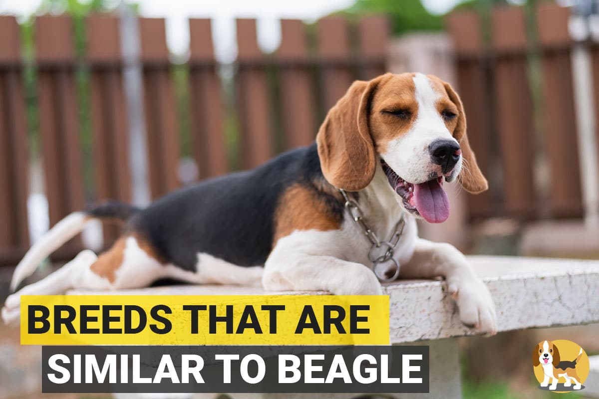 7 Dog Breeds Similar To Beagle Beagle Care