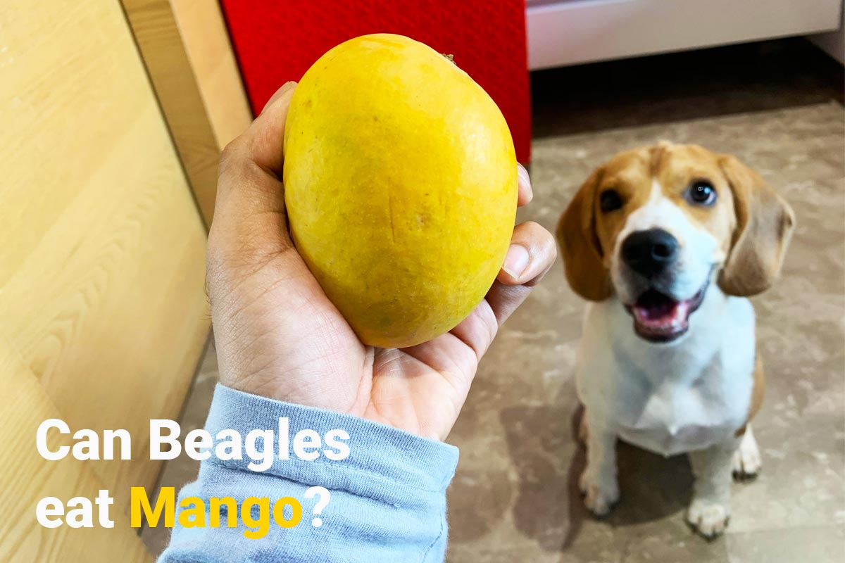 beagle seeing a mango