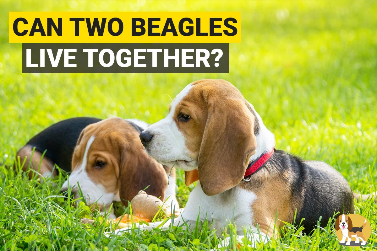 Two Beagles sitting in a garden