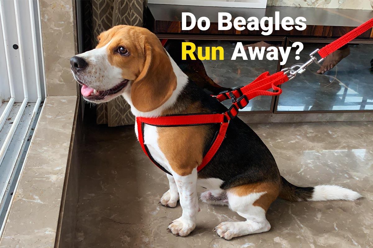 Beagle trying to run