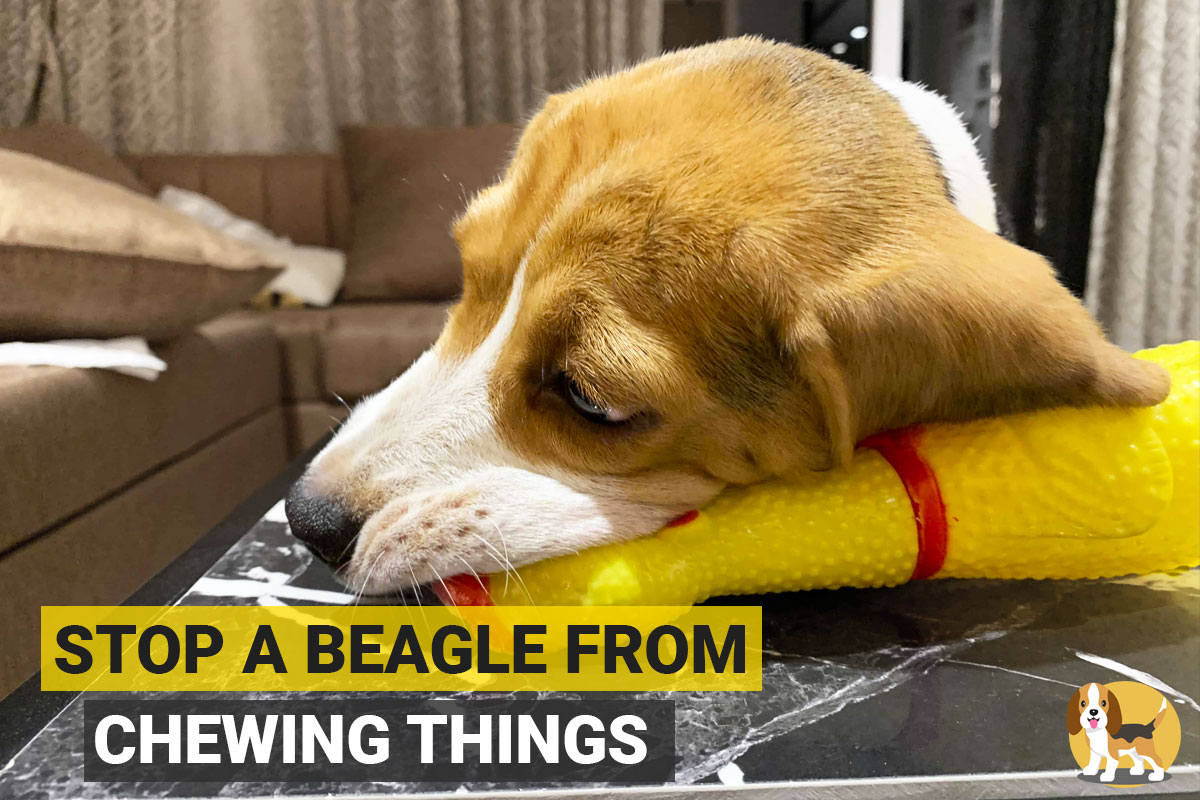Beagle Chewing on furniture