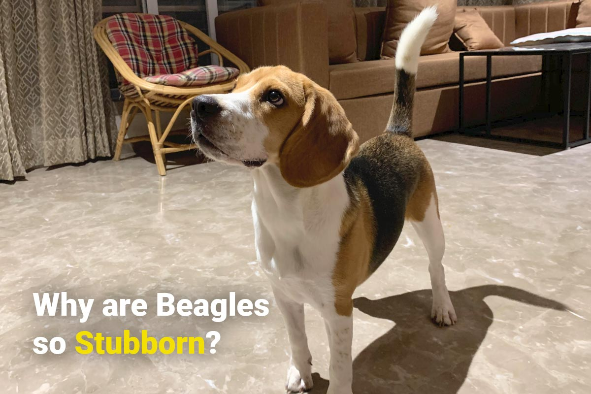 A beagle standing and being stubborn