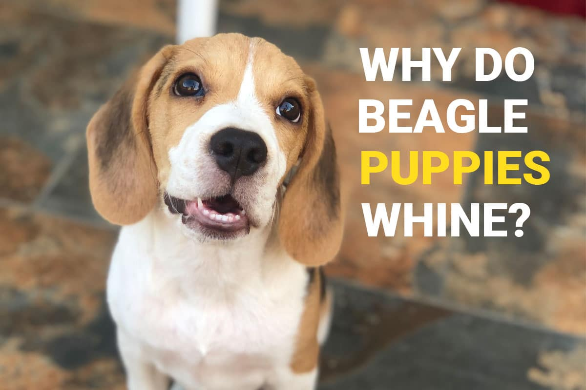 Beagle puppy standing and whining