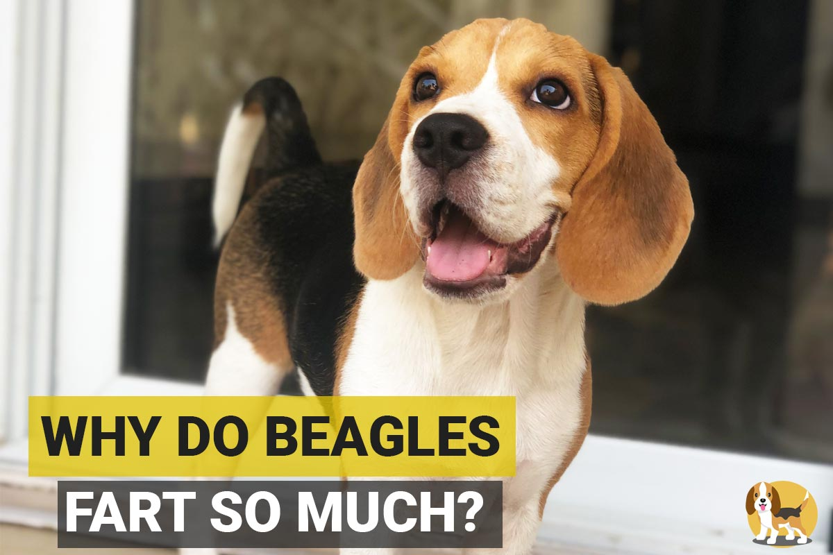 Beagle standing and farting