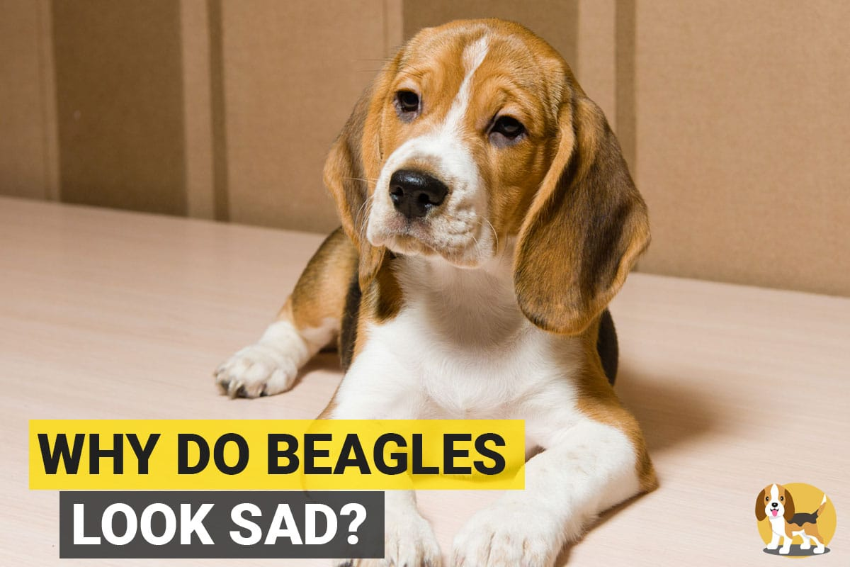 Sad looking beagle sitting on the floor