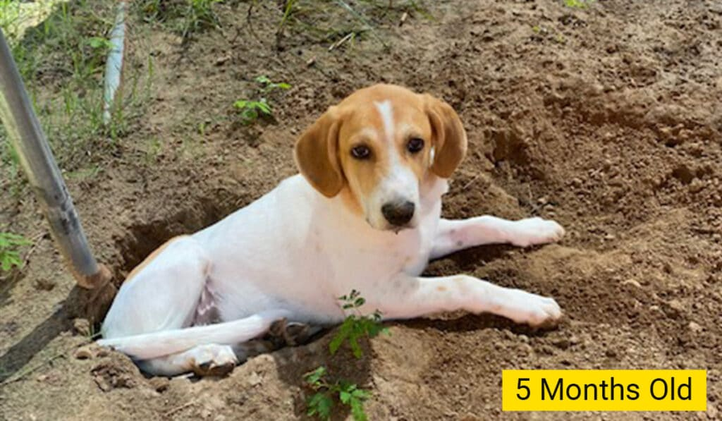 beagle and great pyrenees mix