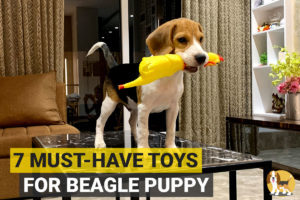Beagle puppy with a toy