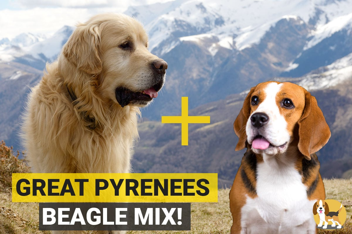Great Pyrenees and Beagle