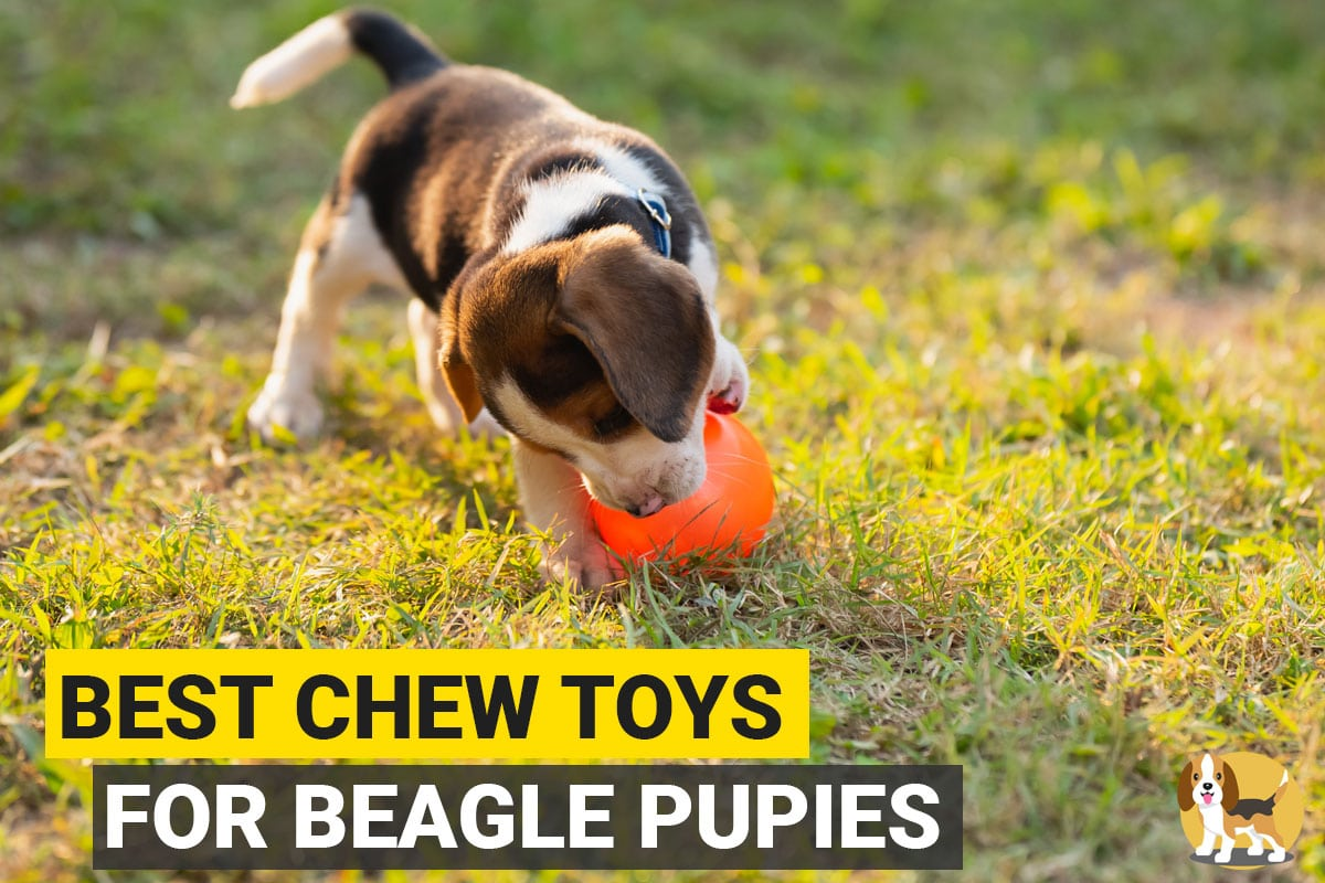Beagle chewing a toy