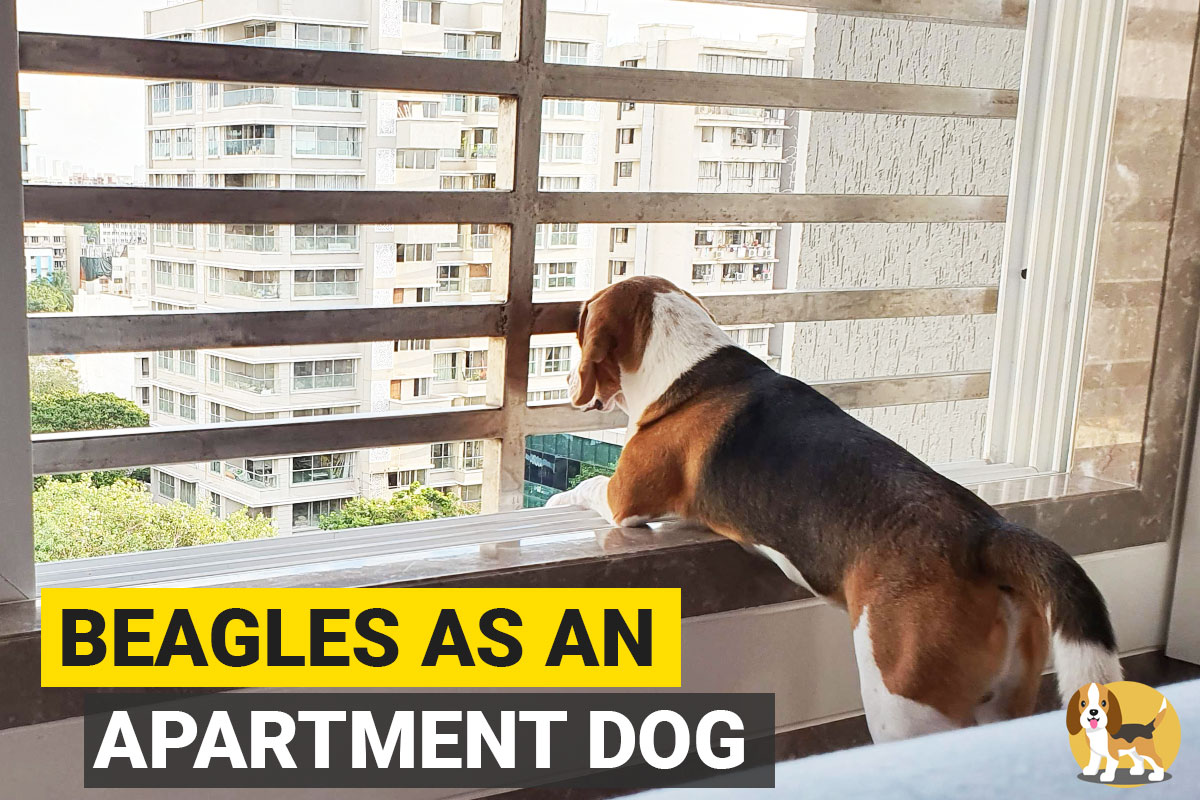 a beagle standing at an apartment window and looking outside
