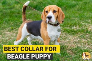 Beagle with a collar and a leash