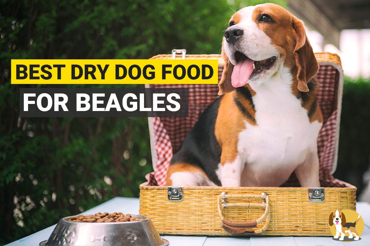 Beagle and his dog food