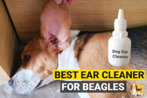 cleaning my beagle's ears