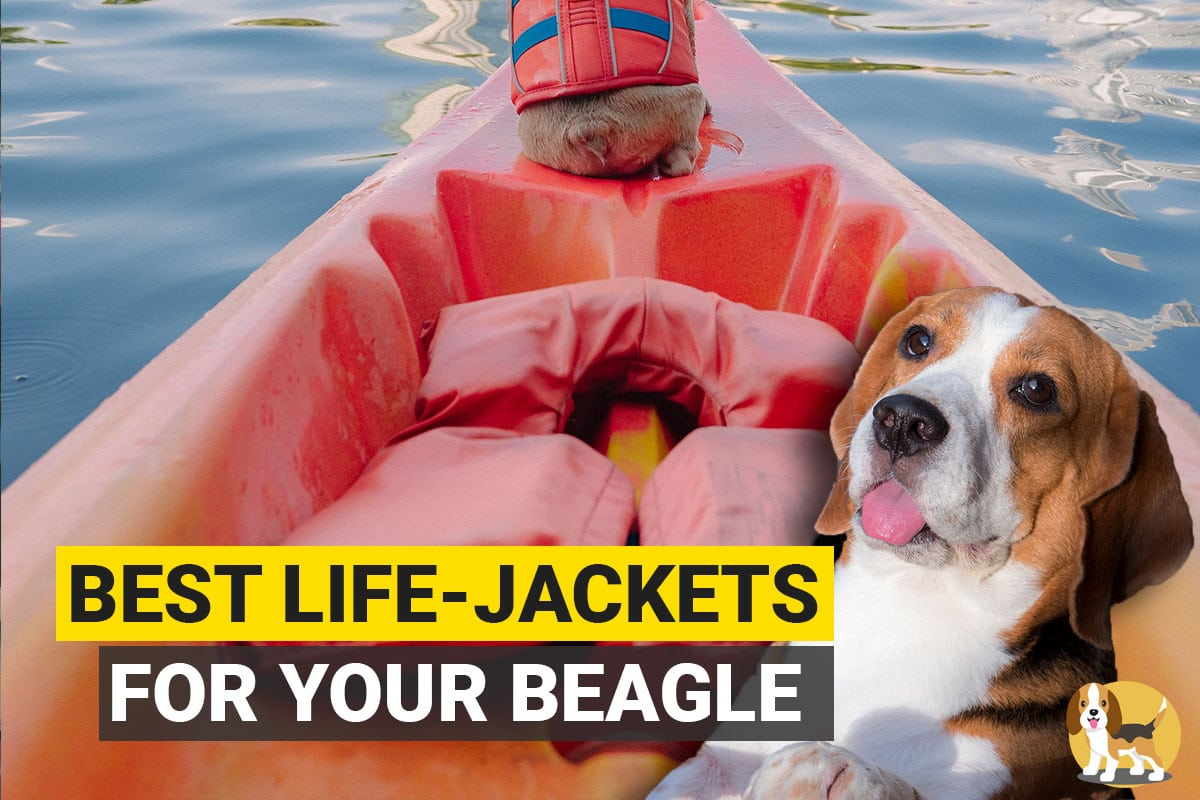 Beagle with lifejackets