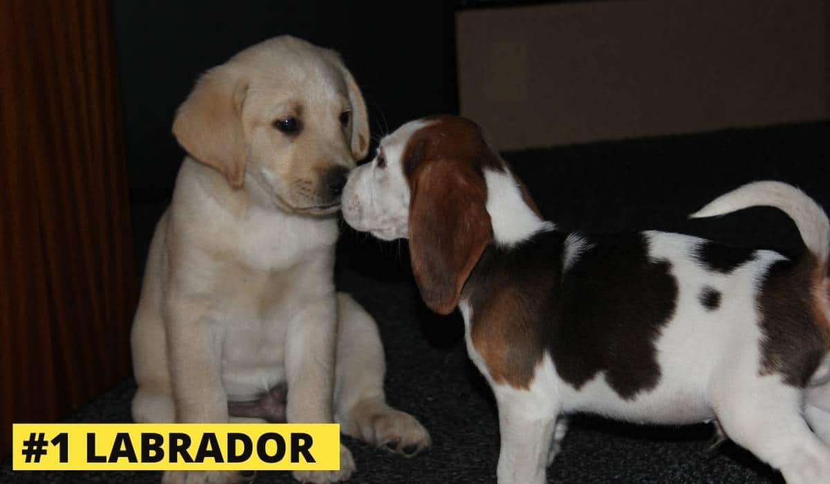 Labrador and beagle